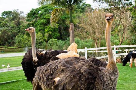 hotel_fazenda_vale_amanhecer_perto_bh_avestruz